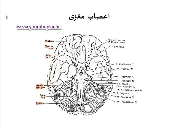 دستگاه عصبی ( پاورپوینت )