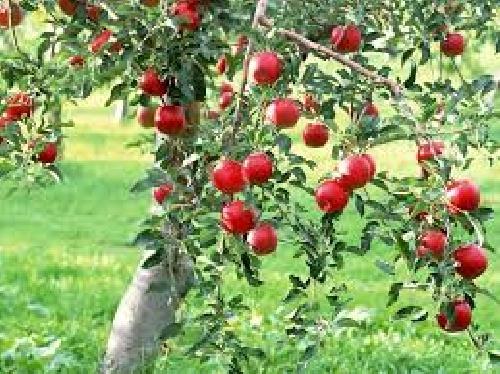 دانلود پروژه ایجاد یک هکتار باغ سیب درختی