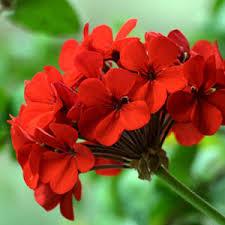 گلهای زینتی - گل شمعدانی