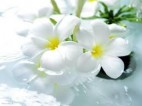 گلهای زینتی - گل یاس