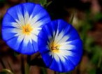گلهای زینتی - پیچک 3 رنگ