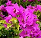 گلهای زینتی - گل کاغذی