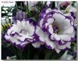 گلهای زینتی - گل لیزیانتوس