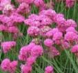 گلهای زینتی - گل آرمریا