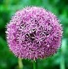 گلهای زینتی _ گل سیرک