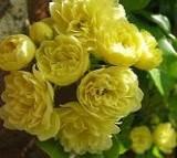 گل آبشار طلایی
