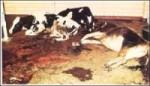 بیماری طاعون گاوی