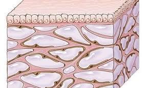 کشف عضو جدید در بدن انسان